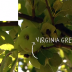 Virginia Greening Apples